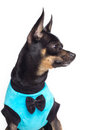Toy terrier dog Stock Photos