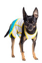 Toy terrier dog Royalty Free Stock Image