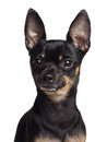 Toy terrier dog Stock Image