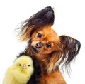 Toy terrier dog and little chicken Royalty Free Stock Photo