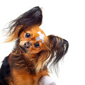 Toy terrier dog young with bandages on a white background Stock Photos