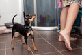Toy terrier looking at his owner cute standing on the floor Royalty Free Stock Photos