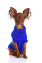 Toy terrier. Russian toy terrier on a white background. Funny li Royalty Free Stock Images