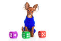 Toy terrier. Russian toy terrier on a white background. Funny li Royalty Free Stock Image
