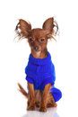 Toy terrier. Russian toy terrier on a white background. Funny li Stock Photography