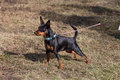 Toy Terrier On The Walk. Photo...