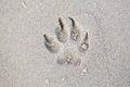 Trace dog paws in the sand. Royalty Free Stock Photo