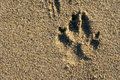 Trace of a dog on sand Royalty Free Stock Photo