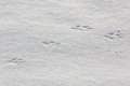 Traces of an animal in  snow. Royalty Free Stock Photo