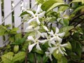 Trachelospermum Jasminoides (Star Jasmine) Plant Blossoming. Royalty Free Stock Photo