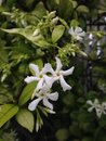 Trachelospermum Jasminoides (Star Jasmine) Plant Blossoming. Royalty Free Stock Photo