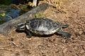 Trachemys scripta elegans aquatic turtle on the shore of the pond Stock Photo