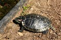 Trachemys scripta elegans aquatic turtle on the shore of the pond Royalty Free Stock Image