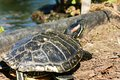 Trachemys scripta elegans aquatic turtle on the shore of the pond Royalty Free Stock Photo