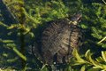Trachemys scripta elegans a red eared slider turtle swimming in a pond Stock Photos