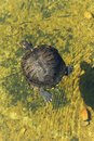 Trachemys scripta elegans a red eared slider turtle swimming in a pond Royalty Free Stock Photos
