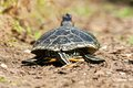 Trachemys scripta elegans turtle on land seen from behind Royalty Free Stock Image