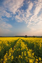 Tracks through field of oilseed rape Royalty Free Stock Photo