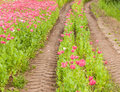 Tractor tire tracks in a colorful field of flowers Royalty Free Stock Photo