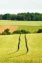 Tractor Track in a Corn Field Royalty Free Stock Photos