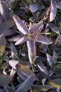 Tradescantia pallida 'Purple Heart'. Stock Photography