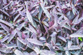 Tradescantia in summer city park Stock Photography