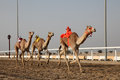 Traditional camel race in Doha Royalty Free Stock Images