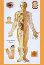 Traditional chinese acupuncture chart is a system of complementary medicine that involves pricking the skin with needles used to Stock Image