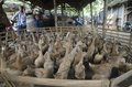 image photo : TRADITIONAL DUCK MARKET