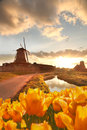 Traditional Dutch windmill with tulips in Zaanse Schans, Amsterdam area, Holland Royalty Free Stock Photo