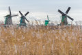 Traditional Dutch windmills and wetland dry reed seed heads waving on wind Royalty Free Stock Photo
