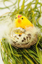 Traditional easter yellow chicken with broken egg in wicker clutch as decoration Royalty Free Stock Image