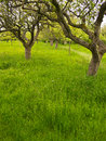 Traditional Fruit Orchard in Spring, England Stock Photography