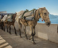 Traditional Greek donkeys in Oia on Santorini island in Greece Royalty Free Stock Photo