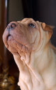 Traditional puppy shar pei portrait Stock Images