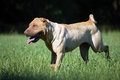 Traditional sharpei running Stock Photos