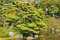 Traditionally pruned pine, Tokyo Imperial Plalace  Royalty Free Stock Images