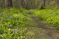 Trail through blue bell flowers a in the woods with Stock Photo