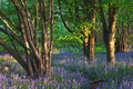 Trail through a bluebell wood in spring Royalty Free Stock Photo