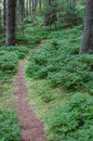 Trail in blueberry bushes Royalty Free Stock Photo