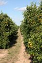 Trail Through Citrus Grove Stock Image