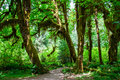 Trail in the Hoh Rainforest, Olympic National Park, Washington USA Royalty Free Stock Photo