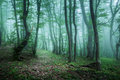 Trail through a mysterious dark forest in fog with green leaves Royalty Free Stock Photo