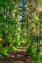 Trail near in a tall and dense coniferous forest the trees the early the morning Stock Photo