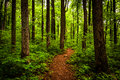 Trail through tall trees in a lush forest, Shenandoah National Park Royalty Free Stock Photo