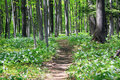 Trail through the woods. Royalty Free Stock Photo