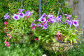 Trailing surfina petunias in hanging baskets garden with purple Royalty Free Stock Images