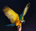Trained colourful parrot sitting on a human hand Royalty Free Stock Photos