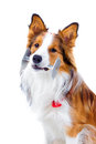 Trained dog isolated on white, border collie Stock Photography