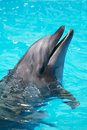Trained dolphin swims in the pool water swimming blue swimming Royalty Free Stock Photos